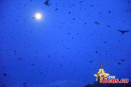 Swallows fill the sky in southern town